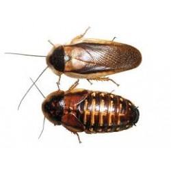 Dubia Cockroach (Medium)